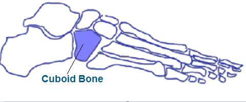 Cuboid Bone Anatomy