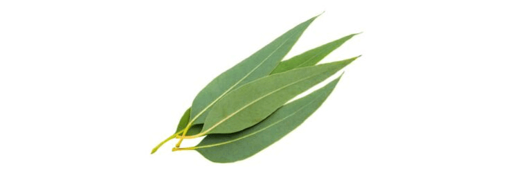 Eucalyptus Leaves from which essential oil is extracted