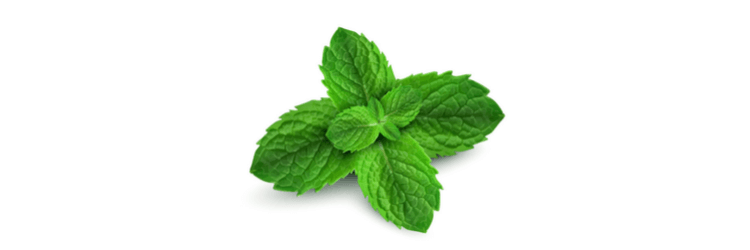 Peppermint Leaves from which essential oil is extracted