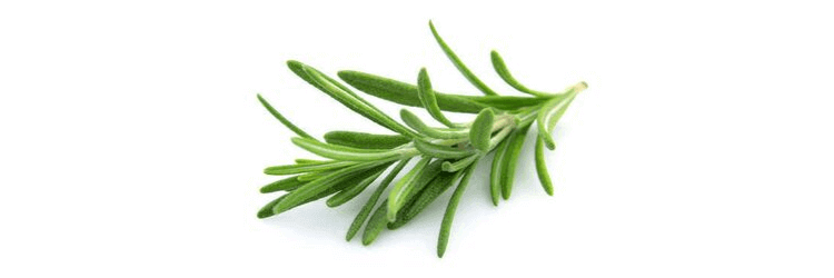 Rosemary leaves from which essential oil is extracted